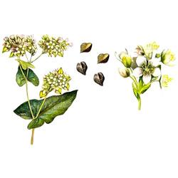Гречиха — растение, картинка цветная