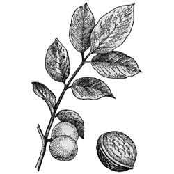 Грецкий орех — растение, картинка чёрно-белая