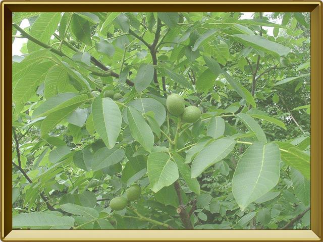 Грецкий орех — растение, фото в рамке №2