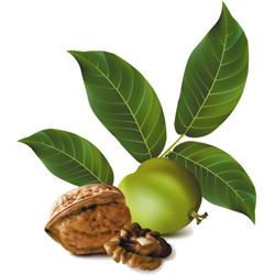 Грецкий орех — растение, картинка цветная