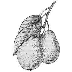 Груша — растение, картинка чёрно-белая