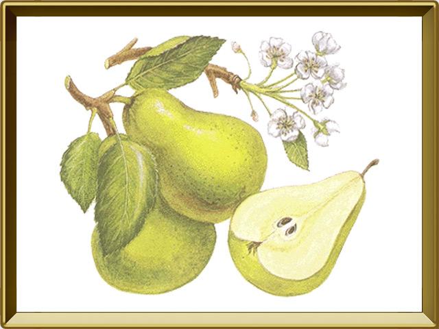 Груша — растение, фото в рамке №1