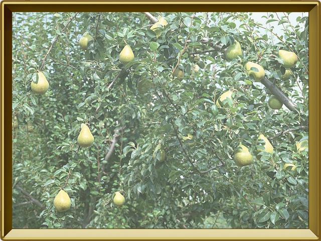 Груша — растение, фото в рамке №2