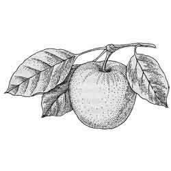 Яблоня — растение, картинка чёрно-белая
