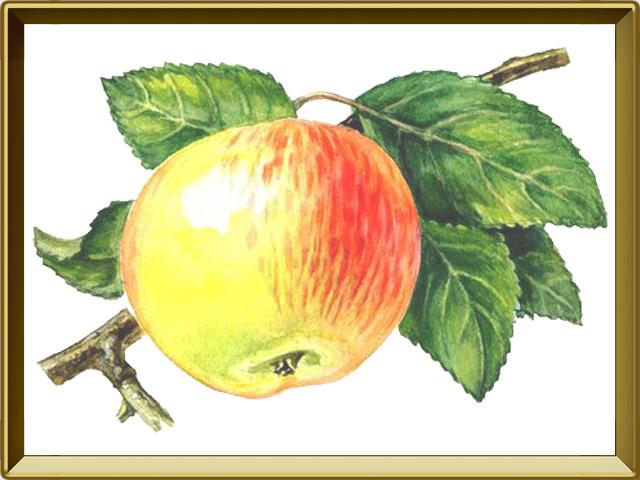 Яблоня — растение, фото в рамке №1
