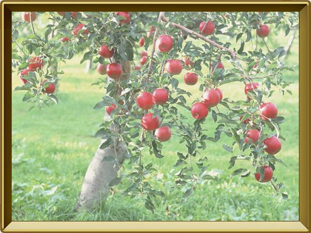 Яблоня — растение, фото в рамке №2