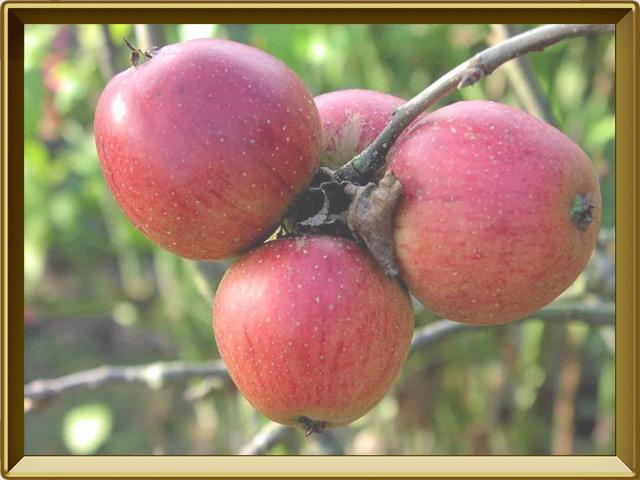 Яблоня — растение, фото в рамке №3