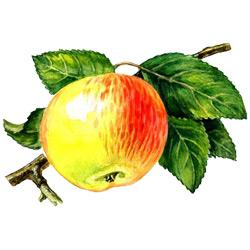 Яблоня — растение, картинка цветная