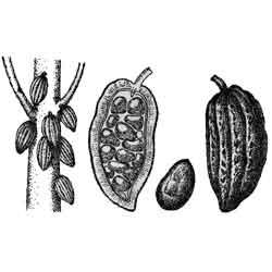 Какао — растение, картинка чёрно-белая