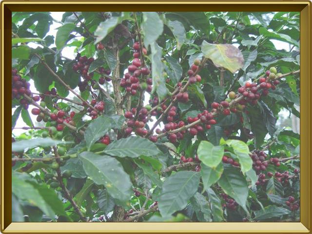 Какао — растение, фото в рамке №2