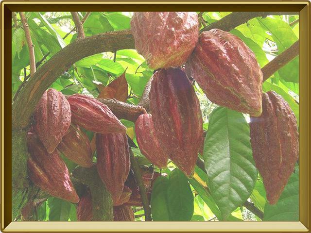 Какао — растение, фото в рамке №3