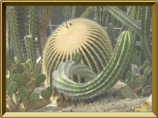 Кактус — растение, фото в рамке №2