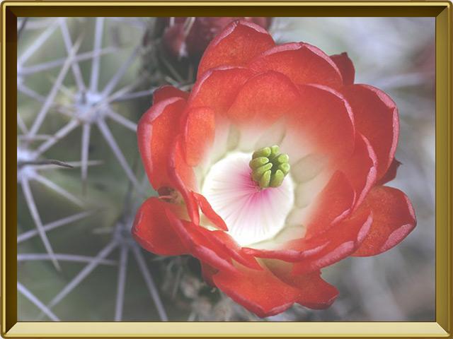 Кактус — растение, фото в рамке №3