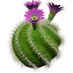Кактус — растение, картинка цветная