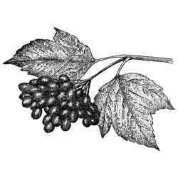 Калина — растение, картинка чёрно-белая