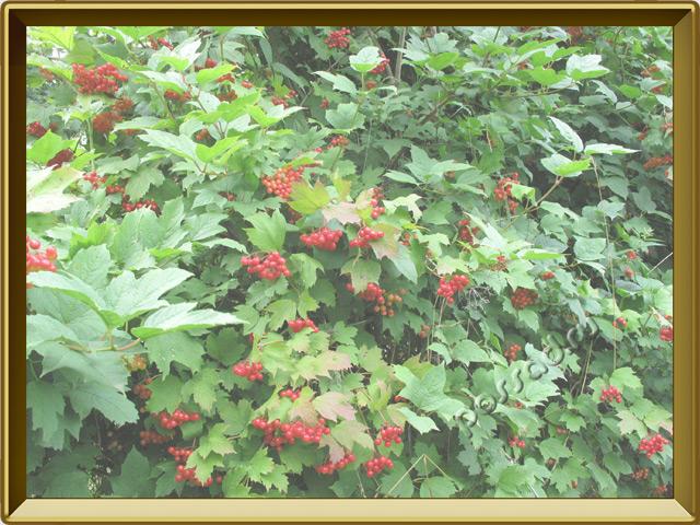 Калина — растение, фото в рамке №2