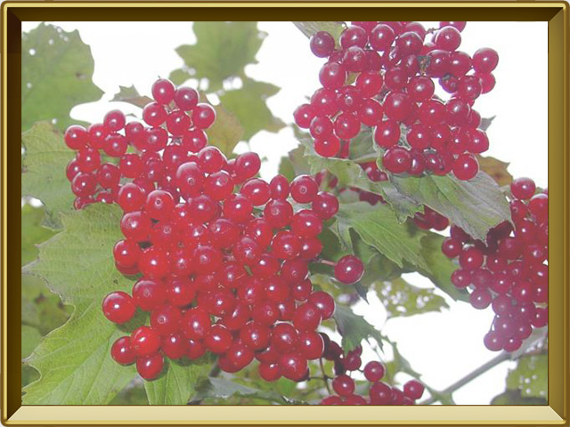 Калина — растение, фото в рамке №3