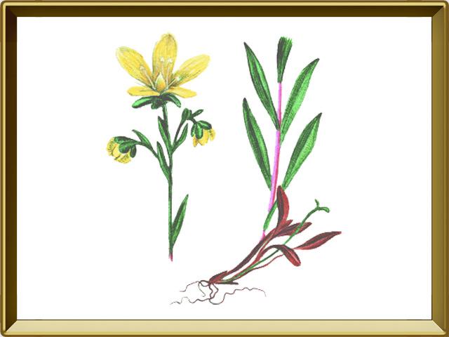 Камнеломка — растение, фото в рамке №1
