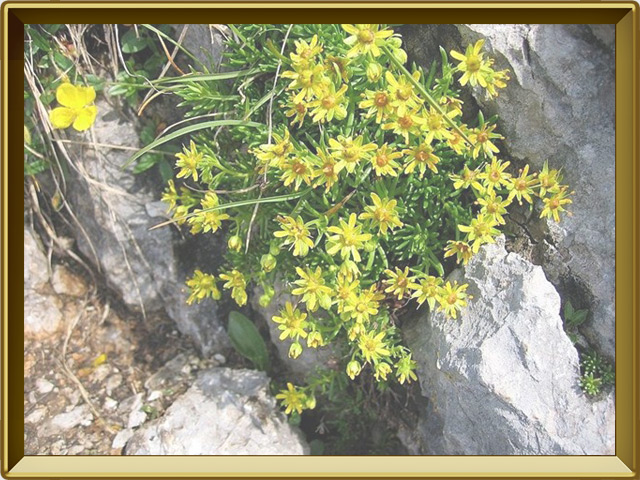 Камнеломка — растение, фото в рамке №2