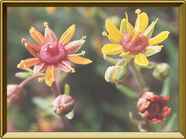 Камнеломка — растение, фото в рамке №3