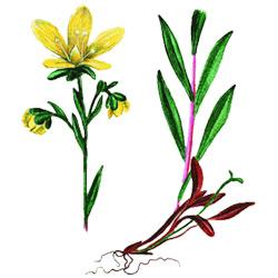 Камнеломка — растение, картинка цветная