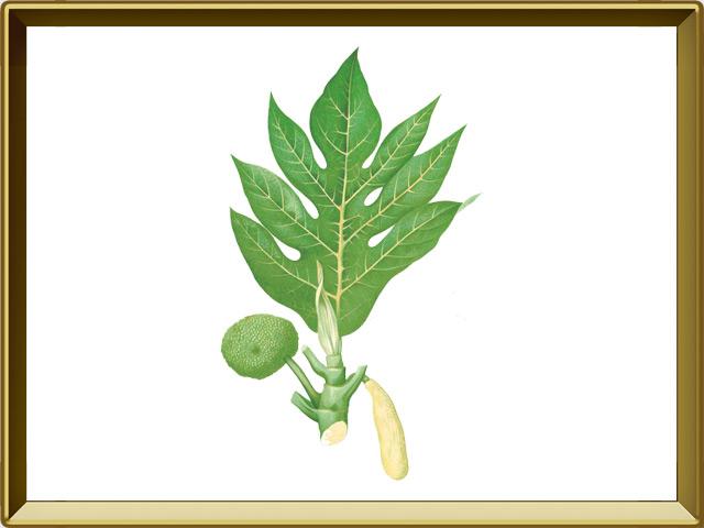 Хлебное дерево — растение, фото в рамке №1