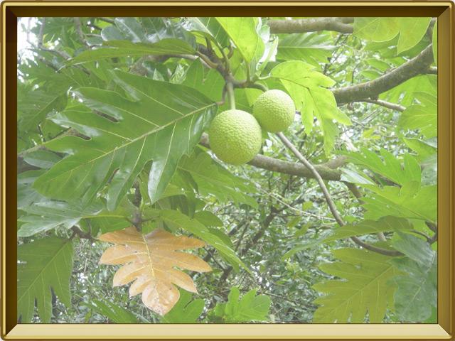 Хлебное дерево — растение, фото в рамке №2