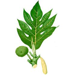 Хлебное дерево — растение, картинка цветная