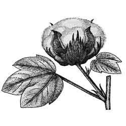 Хлопок — растение, картинка чёрно-белая