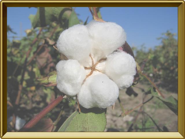Хлопок — растение, фото в рамке №3