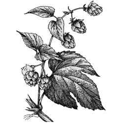 Хмель — растение, картинка чёрно-белая