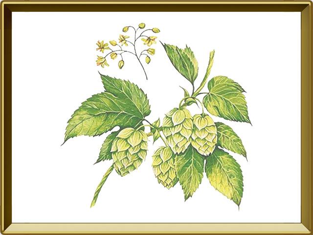 Хмель — растение, фото в рамке №1