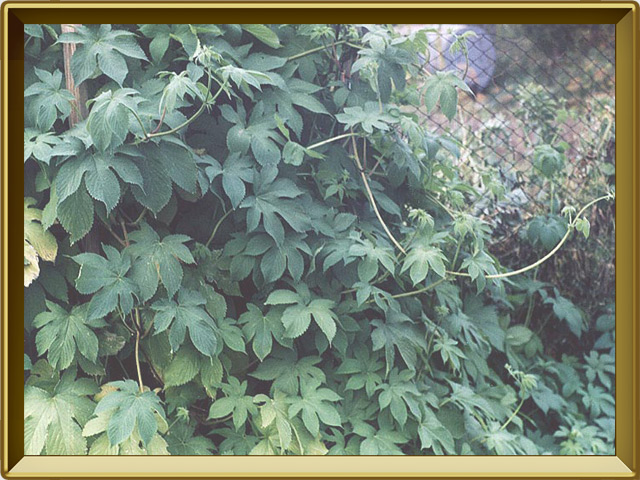 Хмель — растение, фото в рамке №2
