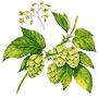 Хмель — растение