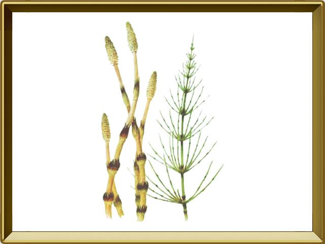 Хвощ — растение, фото в рамке №1