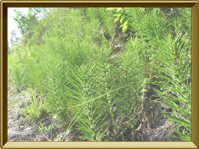 Хвощ — растение, фото в рамке №2