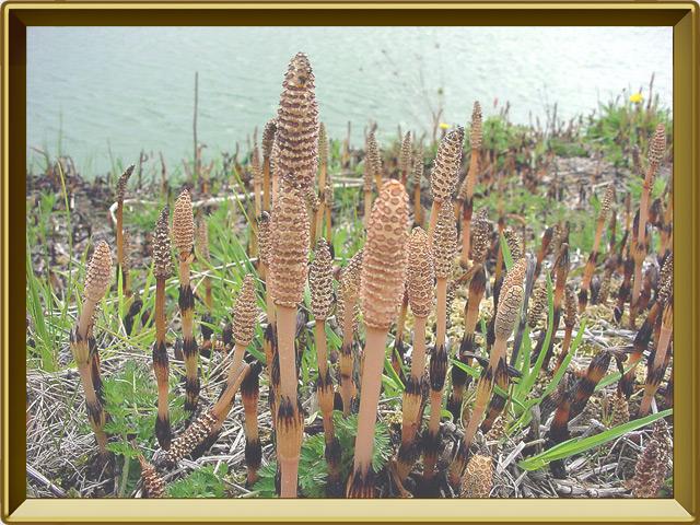 Хвощ — растение, фото в рамке №3