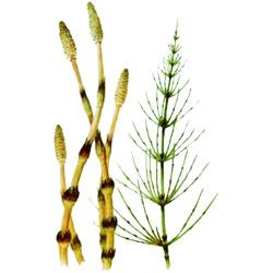 Хвощ — растение, картинка цветная