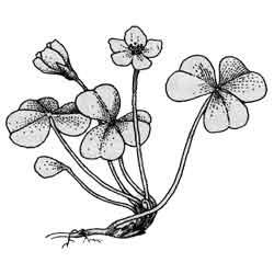 Кислица — растение, картинка чёрно-белая