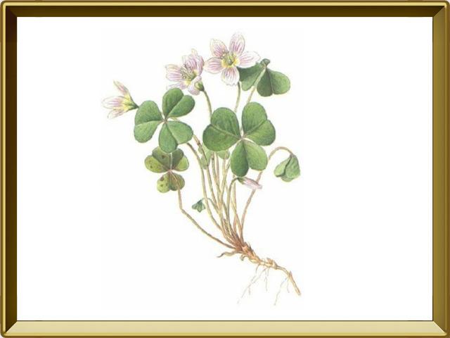 Кислица — растение, фото в рамке №1