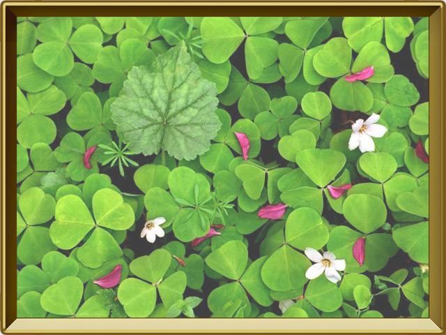 Кислица — растение, фото в рамке №2