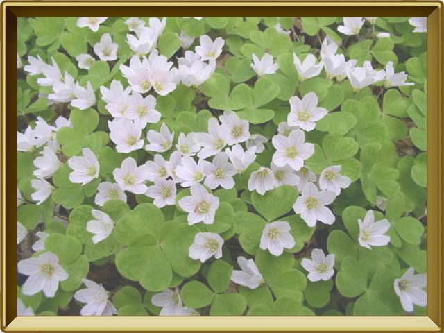 Кислица — растение, фото в рамке №3