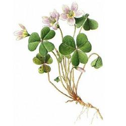 Кислица — растение, картинка цветная