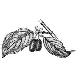 Кизил — растение, картинка чёрно-белая
