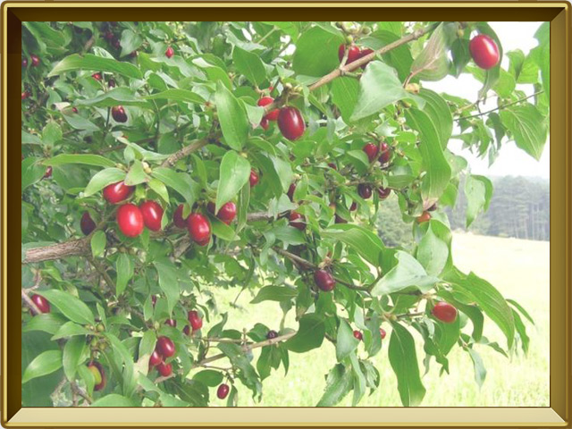 Кизил — растение, фото в рамке №2
