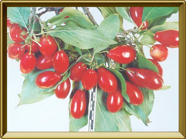 Кизил — растение, фото в рамке №3