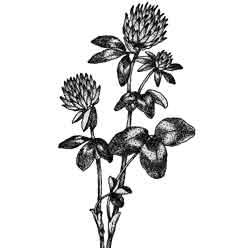 Клевер — растение, картинка чёрно-белая