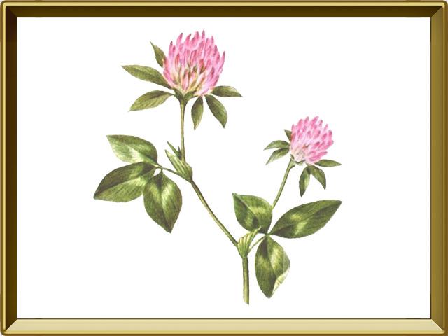 Клевер — растение, фото в рамке №1