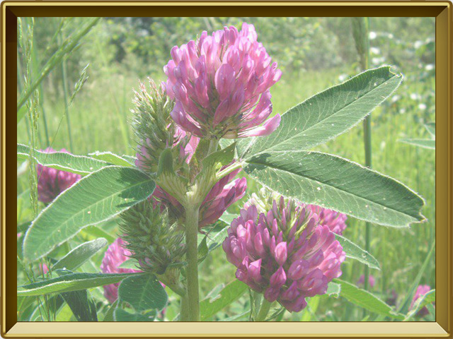 Клевер — растение, фото в рамке №2