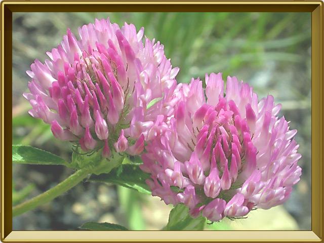 Клевер — растение, фото в рамке №3